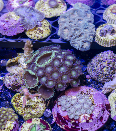 polyp corals: This is a branching torch coral, Euphyllia glabrescens.