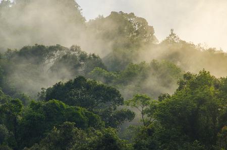 profonda foresta tropicale, albero baldacchino e nebbia