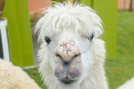 alpaca portrait in zoo photo
