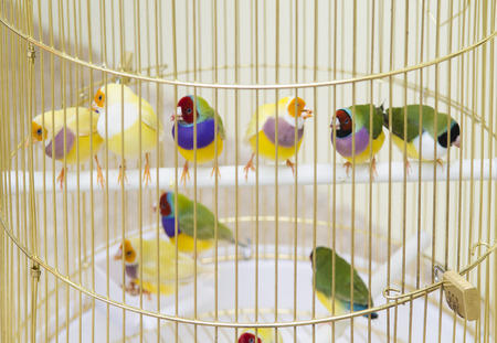 Lady Gouldian Finch in cage photo