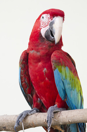 Beautiful red pet parrot macaw photo