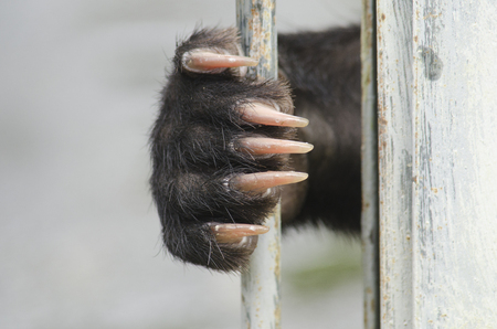 bear paw: Asiatic black bear(Ursus thibetanus) are in cage for abstract used