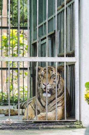 captivity: Bengal Tiger in captivity