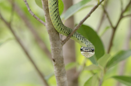 limbless: Green snake from Khao Yai Thailand.  Stock Photo