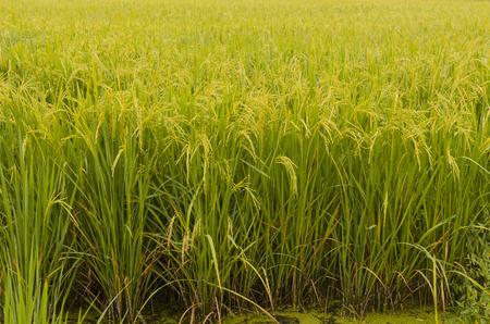 hintergrund gr�n gelb: Gr�n, gelb Reis Reisfeld, Thailand