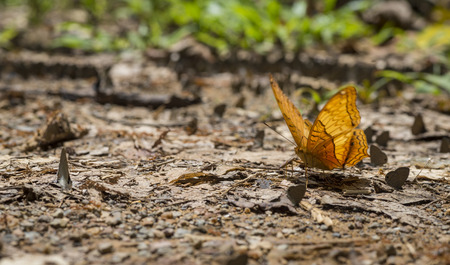 kaeng: butterfly on the ground at Kaeng Krachan National Park, Thailand Stock Photo