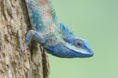 africa chameleon: Chameleon on the tree with nature background