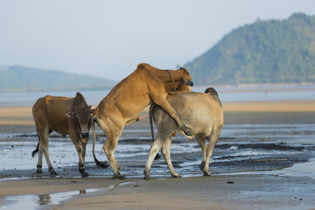 brahman: Family of Zebu cattle walking along the beach of Zanzibar. Cow and bull with a calf.