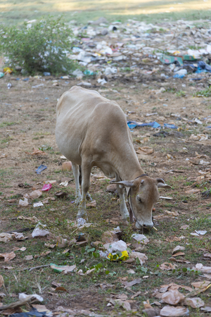 landfill: Cow eating trash from illegal landfill