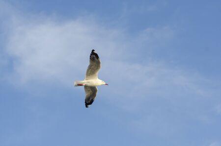 seagul bird with blue sky Stock Photo