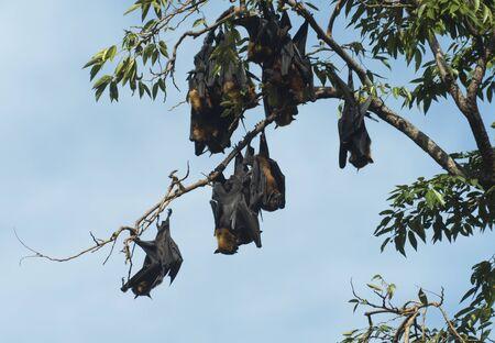 pteropus: bats on tree Stock Photo