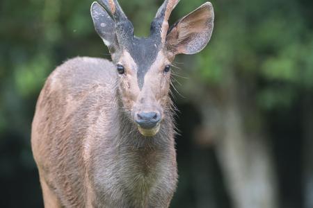 plains indian: Sambar deer mud play, Khao Yai National Park Stock Photo