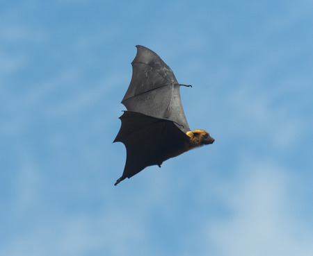 pteropus: Foxes flying in the sky. biggest bat in Thailand