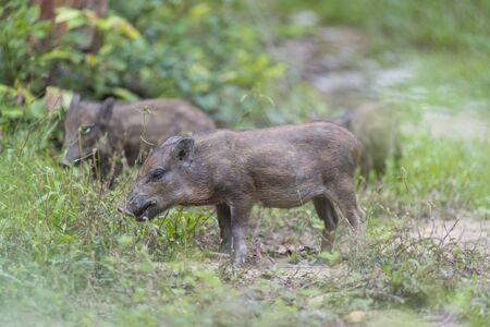 jabali: bebé cerdo salvaje