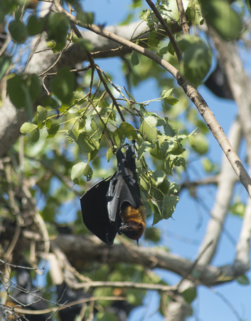 roosting: bats on tree Stock Photo