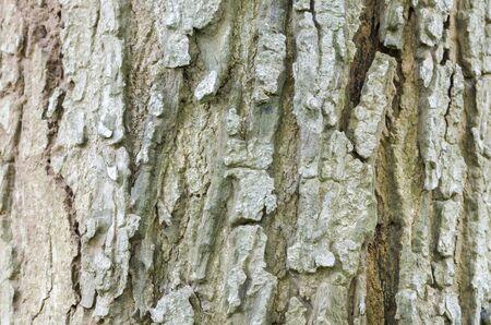 tree bark: texture of tree bark Stock Photo