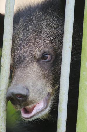 looking behind: Black bear looking behind cage bars Stock Photo