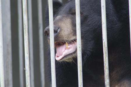 dangerous love: Black bear looking behind cage bars Stock Photo