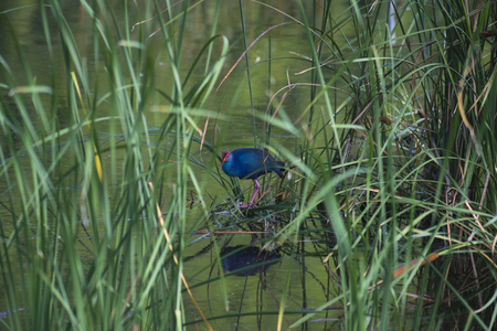 peers: A striking looking bird, a Purple Swamphen, peers out from the cattails that surround a pond in southern Florida. Stock Photo