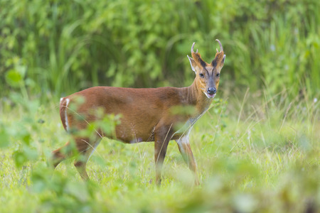 barking: the barking deer with green background, Khao Yai National Park, Thailand Stock Photo