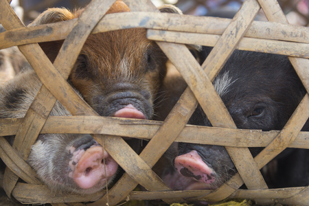 laotian: local pig in Laos for sell Stock Photo
