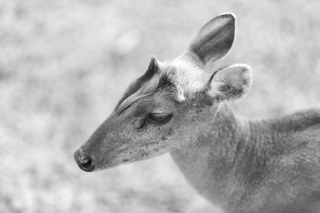 barking: Barking deer on nature field at Khao Yai National Park,Thailand, black and white Stock Photo