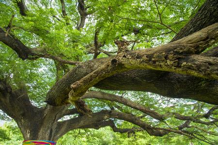 very: very big tree in Thailand Stock Photo