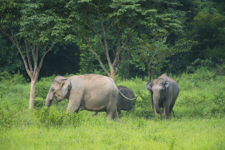 wildlife conservation: Elephant in tropical forest, Thailand wildlife conservation area