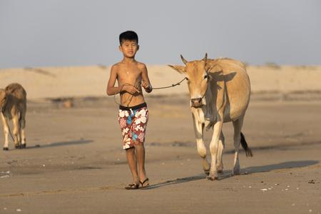 herdsman: Mandalay, Myanmar, - April 4, 2015: The joy of children with cattle on field. Rural way of life. Mandalay, Myanmar,.