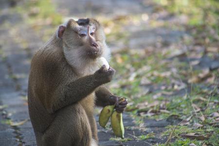 comiendo platano: mono que come el plátano