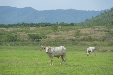 filed: cattle farm, cow filed Thailand