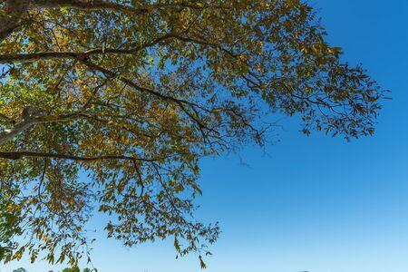 canopy: tree canopy with blue sky