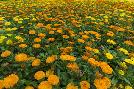 lat: flower garden in Da lat, Vietnam