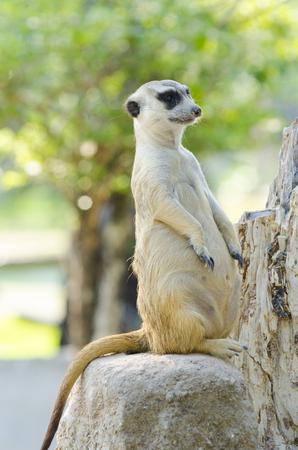 suricatta: Meerkat, Meercat (Surikate) standing upright as Sentry - Suricata suricatta