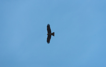 black hawk: black hawk on blue sky Stock Photo