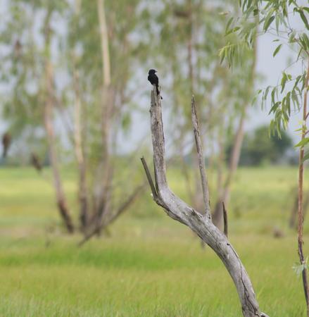 black hawk: black hawk bird sitting on an branch in a tree