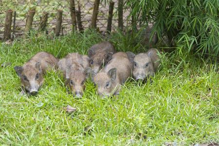 jabali: cerdo salvaje en la hierba Foto de archivo