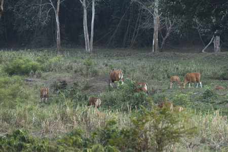 bos: Endangered species in IUCN Red List of Threatened Species Banteng (Bos javanicus) family was beware in group position in real nature at Hui Kha Kheang wildlife sanctuary in Thailand Stock Photo