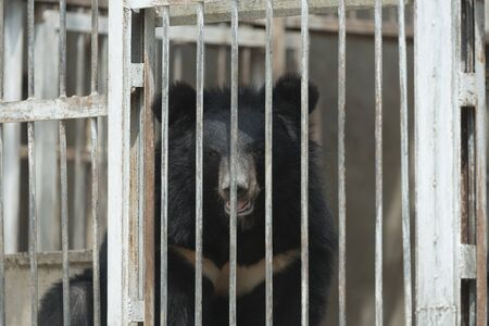 asiatic: Asiatic Black Bear in cage