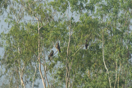 black hawk: black hawk in Thailand Stock Photo