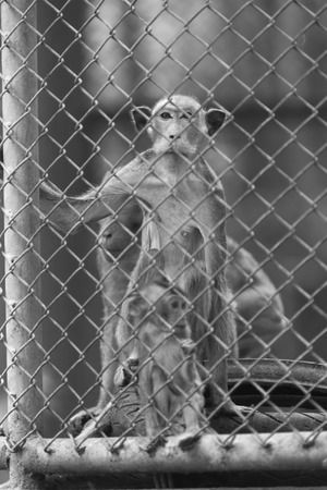 cage gorilla: alone monkey in cage, black and white