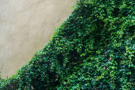 scrambler: Old stone wall with ivy as background Stock Photo