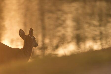 white tail deer: wild deer with sunset, Khao Yai Stock Photo