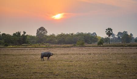 paddies: Buffalo in rice paddies in Thailand, filtered vintage image