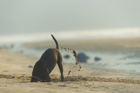 Dog diging sand on the beach