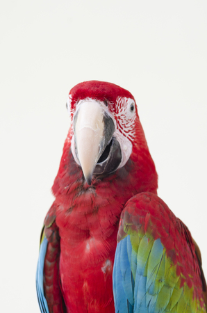 Beautiful red pet parrot macaw Stock Photo