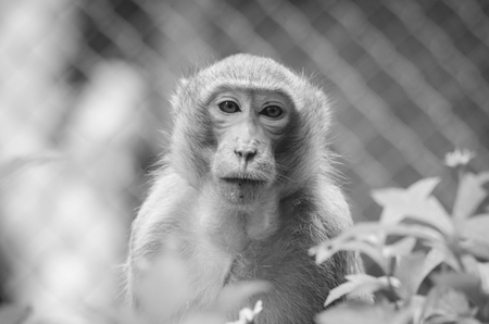 pan paniscus: Monkey in black and white