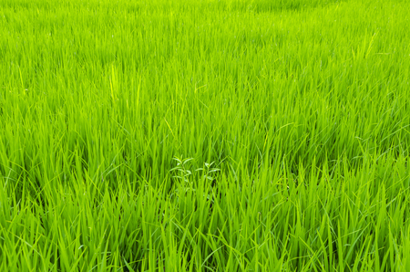 picture of rice paddy field Stock Photo