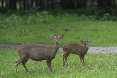 wild deer in Thailand national Park Stock Photo