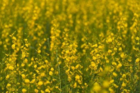 seson: yellow flower field, Thailand
